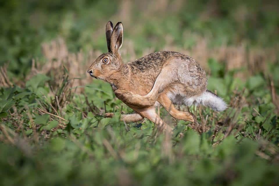 Hare i fuldt løb