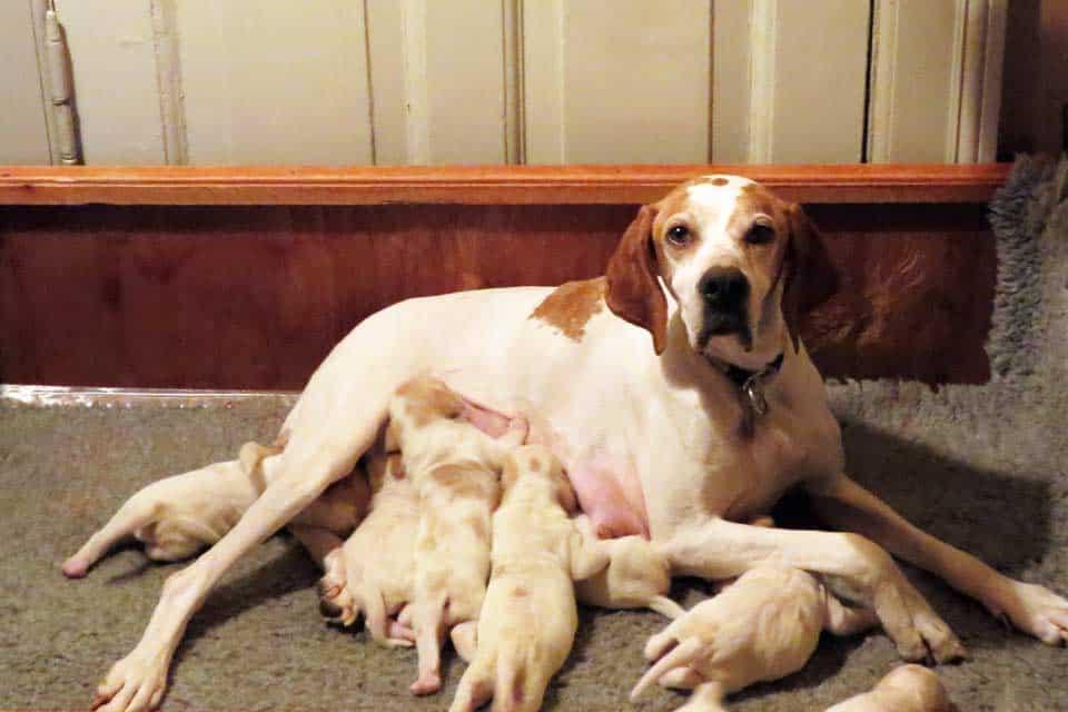 Villestoftes Gulla med hvalpe 1 uge gammel alle gul/hvide